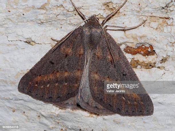 Moth (Chemerina caliginearia)