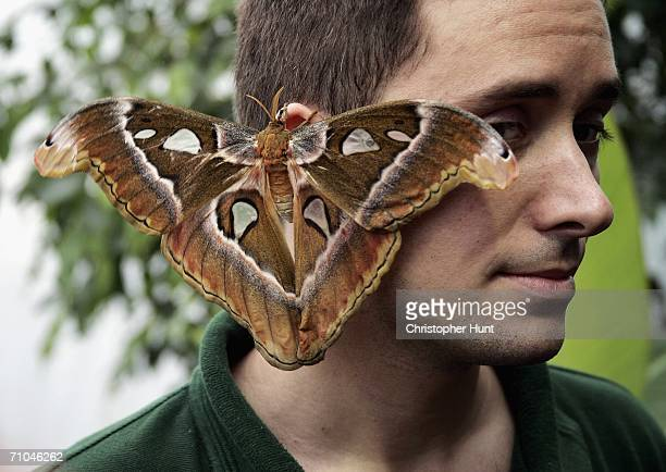 A moth sits on the zookeepers ear at the new exhibit in London Zoo 'Butterfly Paradise' on May 25 2006 London England The new tropical walkthrough...