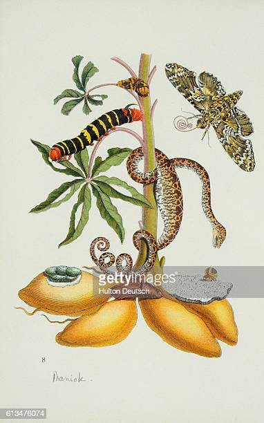 Moth snakes and caterpillars surround a tropical manioc or cassava plant in a an illsutration from Das Kleine Buch der Tropicwunder