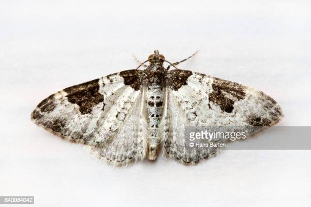 moth with spread wings - papillon de nuit photos et images de collection