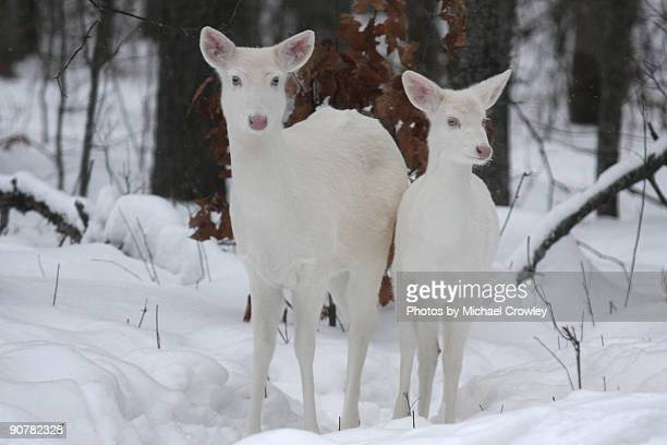 A mother Albino whitetail deer and her young fawn