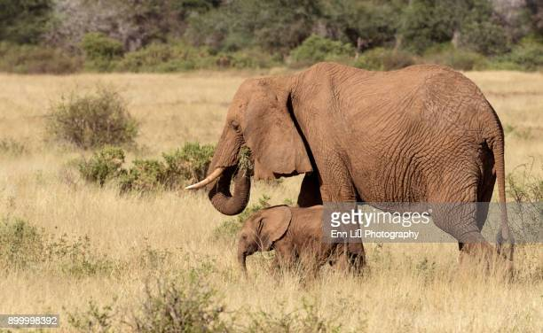 Mother and baby, African Elephants