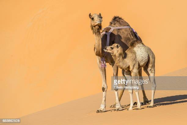mother and baby camel resting in the desert - キャメル色 ストックフォトと画像
