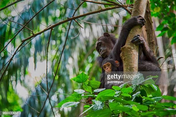 Mutter und Baby Schimpanse, Wildtiere erschossen, Gombe National Park, Tansania