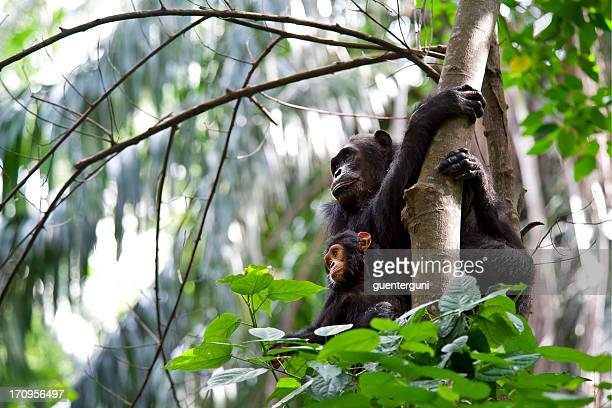 Mother and Baby Chimpanzee, wildlife shot, Gombe National Park,Tanzania