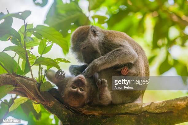 Mother and baby crab-eating macaque in the jungles of Sumatra. Bukit Lawang