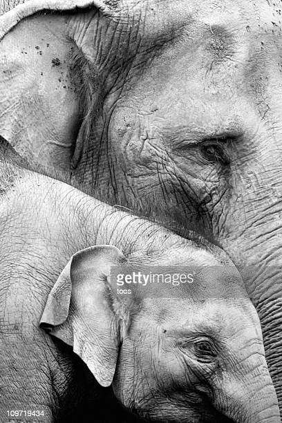 Mother and Baby Elephant in Black & White, Crop