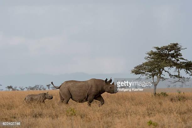 A mother and baby endangered black rhinoceros or hooklipped rhinoceros at the Ol Pejeta Conservancy in Kenya