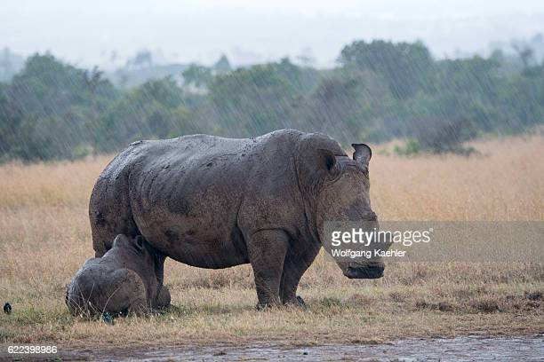 A mother and baby endangered white rhinoceros or squarelipped rhinoceros in the rain with the keratin of the horn removed to prevent poaching at the...