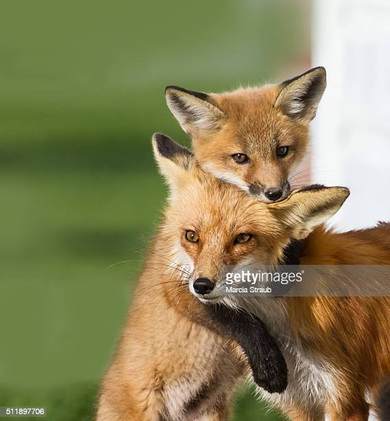 mother and baby fox - nautre stock pictures, royalty-free photos & images