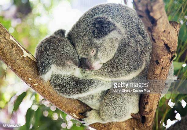 Mother and baby koala bears (Phascolarctos cinereus) cuddled up in a tree