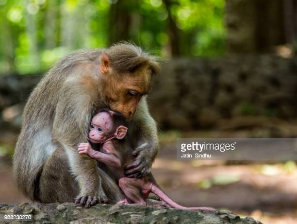 A mother and baby macaque embracing.