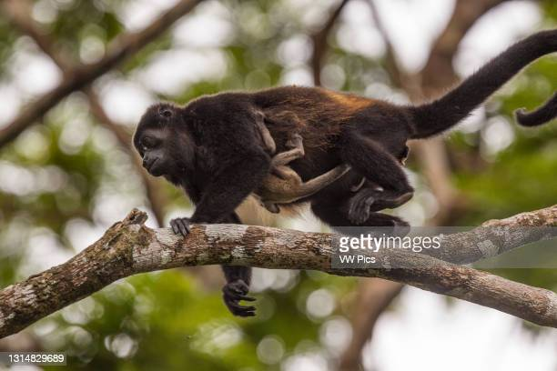 Mother and baby Mantled Howler Monkey in a tree in the rainforest of Tortuguero National Park in Costa Rica..