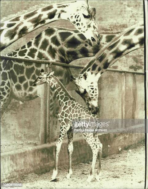 Mother and baby meet the herd2 Weeks old Finnie a baby giraffe had his first look at the outside world today when his mother 'Sydney' introduced her...