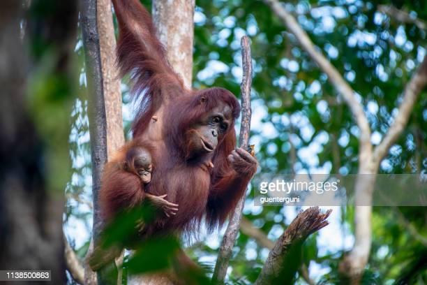 madre y bebé orang utan en la selva tropical, tiro de la vida silvestre - isla de borneo fotografías e imágenes de stock