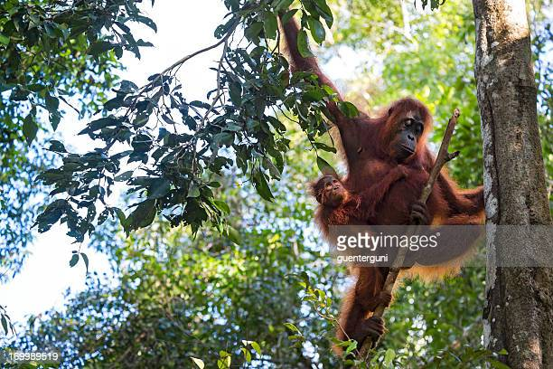 mother and baby orang utan in the rainforest, wildlife shot - island of borneo stock pictures, royalty-free photos & images