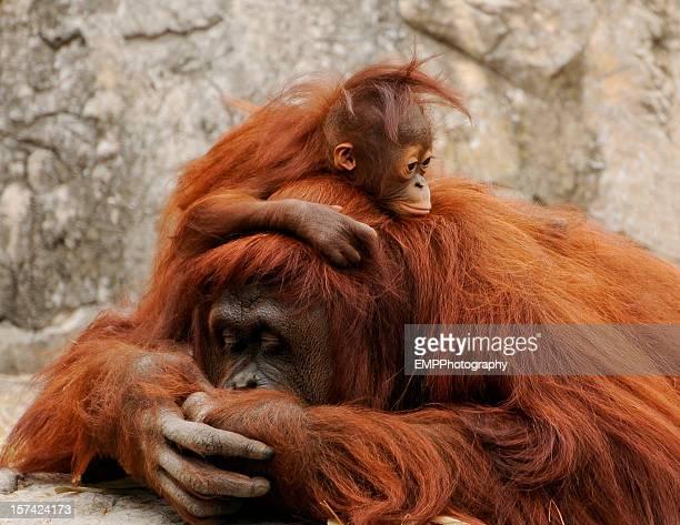 mother and baby orangutan enjoying  life is good - orangutan stock pictures, royalty-free photos & images