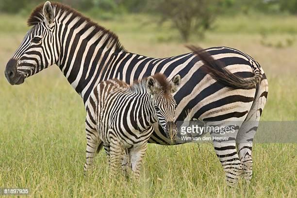 Mother and baby Plains Zebra, Greater Kruger National Park, South Africa