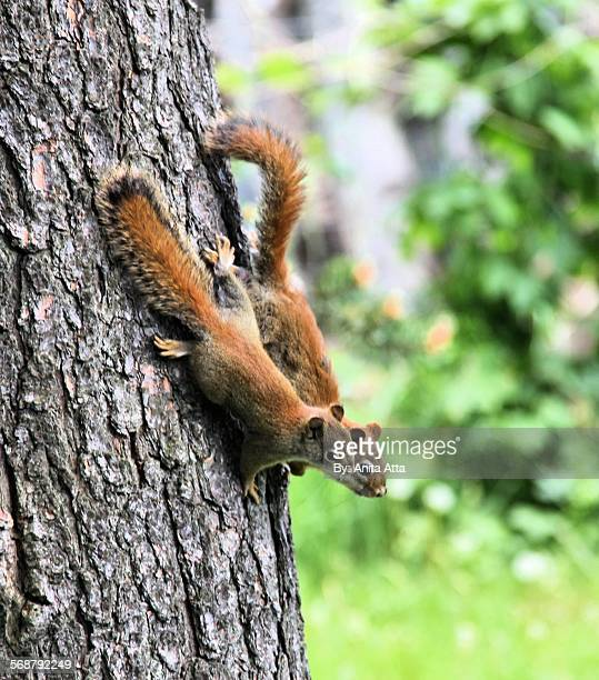 mother and baby red squirrel in tree - american red squirrel stock photos and pictures
