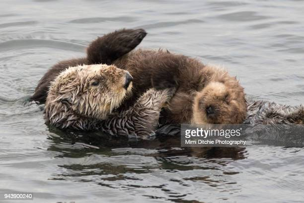 mother and baby sea otters - sea otter stock photos and pictures