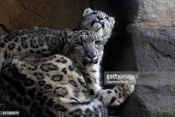 A mother and baby Snow Leopard at Brookfield Zoo in Brookfield Illinois on NOVEMBER 14 2013