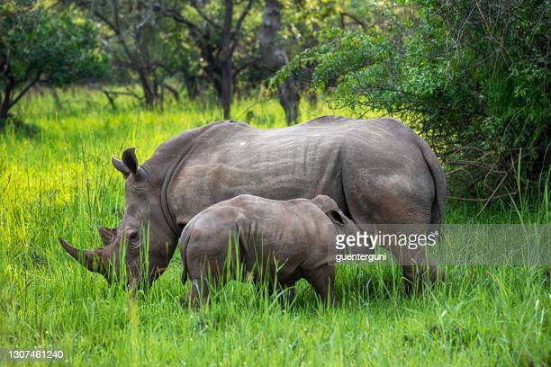 mother and baby southern white rhinoceros (ceratotherium simum simum) in uganda - mammal stock pictures, royalty-free photos & images