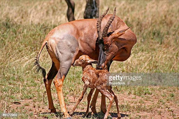 Mother and Baby Topi Antelope