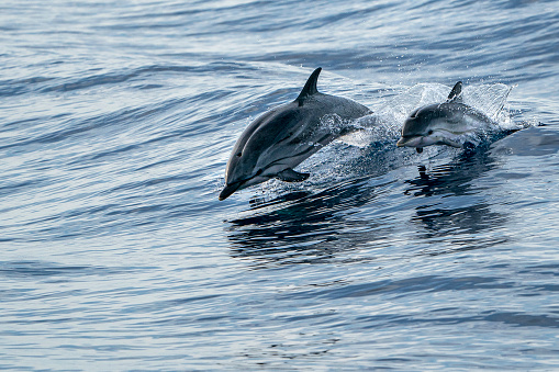 mother and calf baby striped Dolphins while jumping in the deep blue sea 1164359057