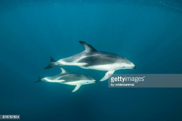 Mother and calf dusky dolphins at the surface, Nuevo Gulf, Valdes Peninsula.
