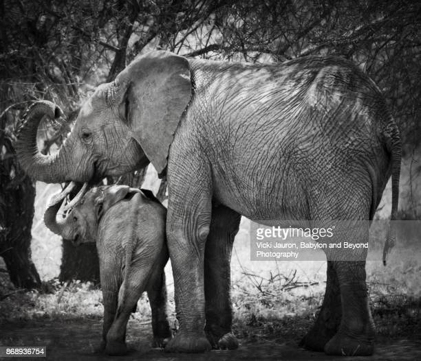 mother and calf elephant in laikipia - threatened species stock photos and pictures
