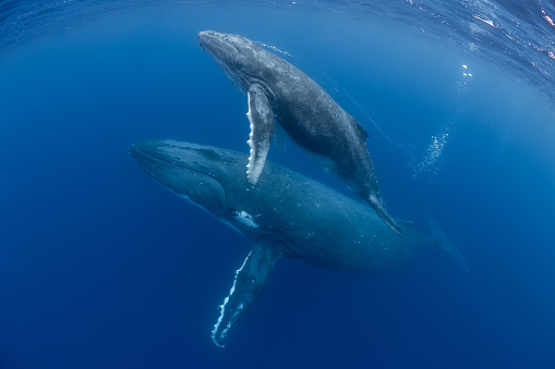 Mother and Calf Humpback Whales 1033392502