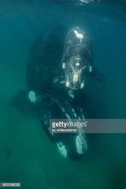 mother and calf southern right whales in shallow water, nuevo gulf, valdes peninsula. - duroni foto e immagini stock