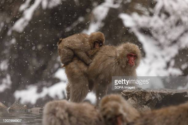 A mother and child are seen at the Jigokudani Yaenkoen Jigokudani Yaenkoen was opened in 1964 and its known to be the only place in the world where...