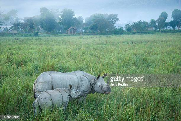A mother and child Great Onehorned Rhinoceros walk through a stand of twometertall elephant grass in Kaziranga National Park The rhino is an...