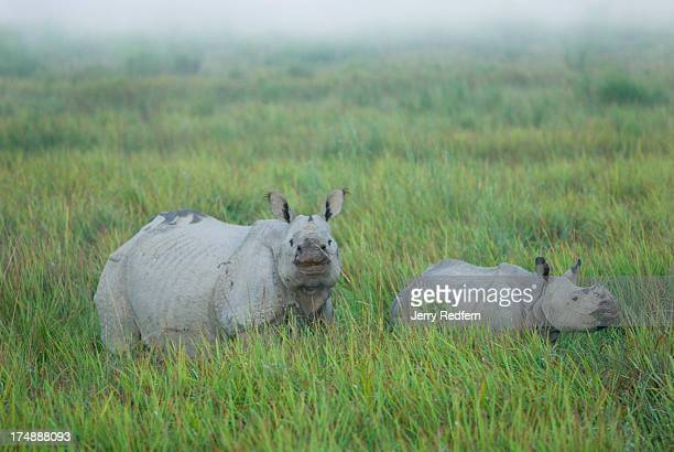 A mother and child Great Onehorned Rhinoceros walk through a stand of elephant grass in Kaziranga National Park The rhino is an endangered species as...
