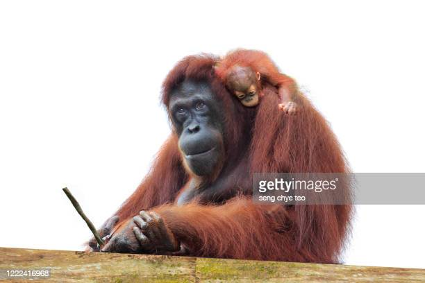 mother and child orangutangs - great ape stock pictures, royalty-free photos & images