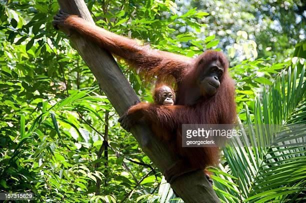 Mutter und Kinder Orang-Utans