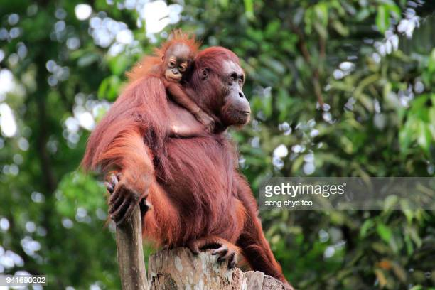 mother and child orangutans - orangutan stock pictures, royalty-free photos & images