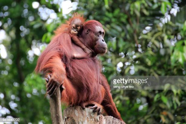 Mother and Child Orangutans