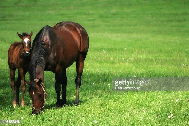 mother and child - thoroughbred horse stock photos and pictures