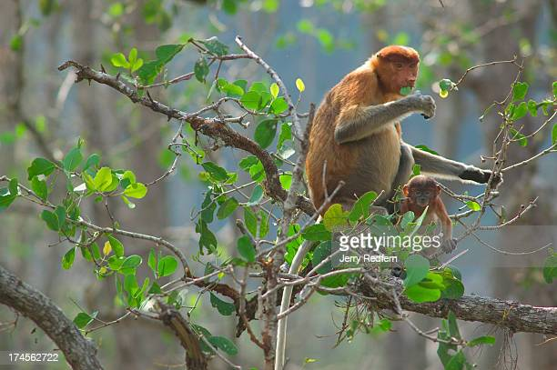 Mother and child proboscis monkeys feed on mangrove tree leaves in Bako National Park Approximately 275 live in the park one of the few remaining...
