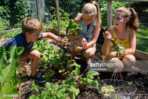 """mother and children harvesting in small family garden. - """"martine doucet"""" or martinedoucet stock pictures, royalty-free photos & images"""
