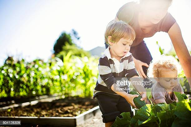 mother and children picking vegetables - tuinieren stockfoto's en -beelden