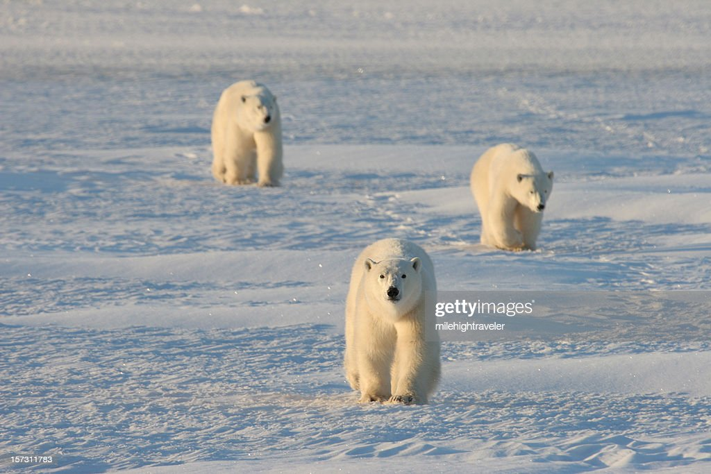 Mother and cub polar bears march across the arctic snows : Stock Photo