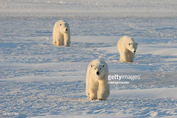 mother and cub polar bears march across the arctic snows - hudson bay stock photos and pictures