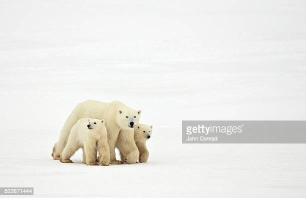 mother and cubs walking - polar bear stock pictures, royalty-free photos & images