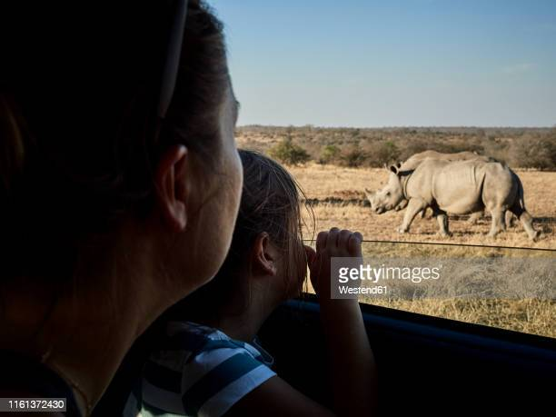 mother and daughter admiring rhinoceroses through the car window,  mpumalanga, south africa - safari stock pictures, royalty-free photos & images