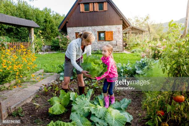 mother and daughter harvesting cabbage in organically grown vegetable garden - farm to table stock photos and pictures