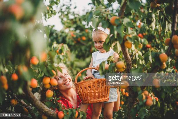 mother and daughter harvesting peach - apricot stock pictures, royalty-free photos & images