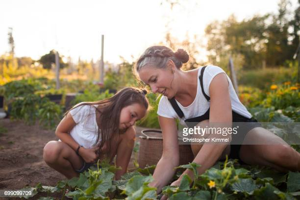a mother and daughter harvesting vegetables from their garden in fort langley - 10歳から11歳 ストックフォトと画像